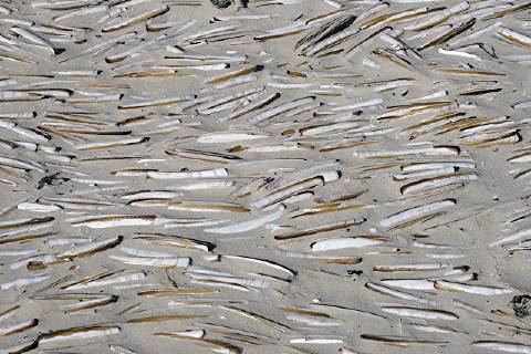 photo of razorclams