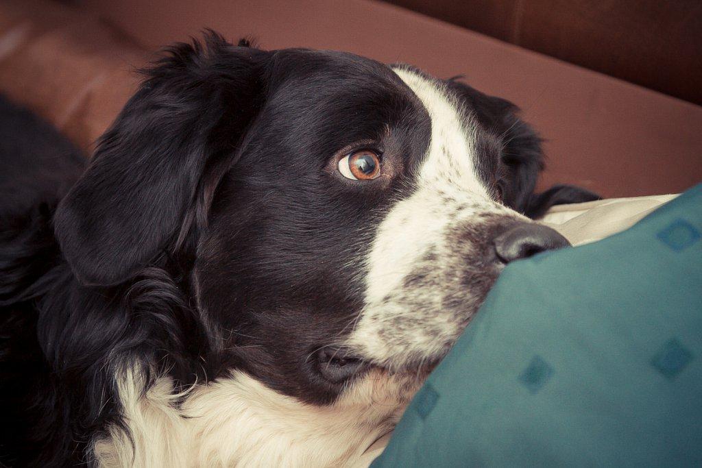 Kuno - Berner Sennenhund Mixdog