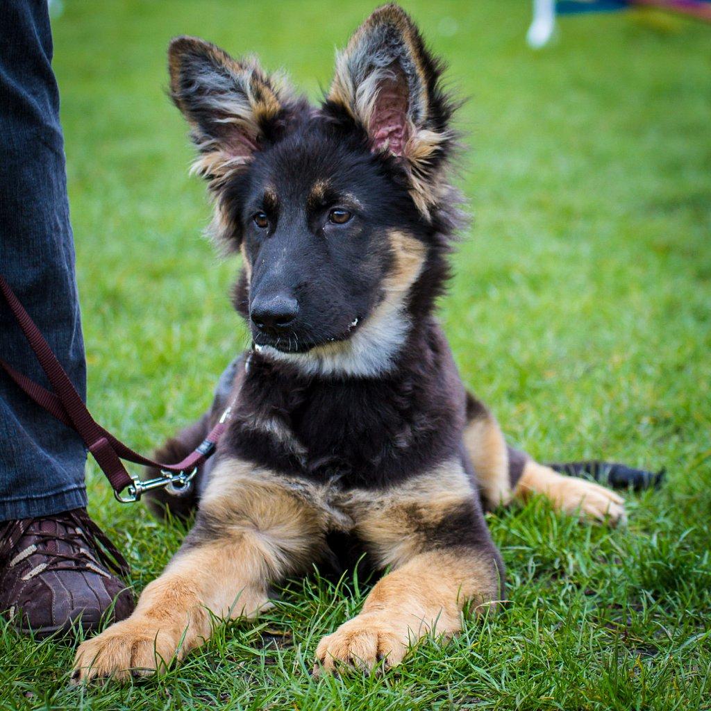 Tessi - German Shepherd