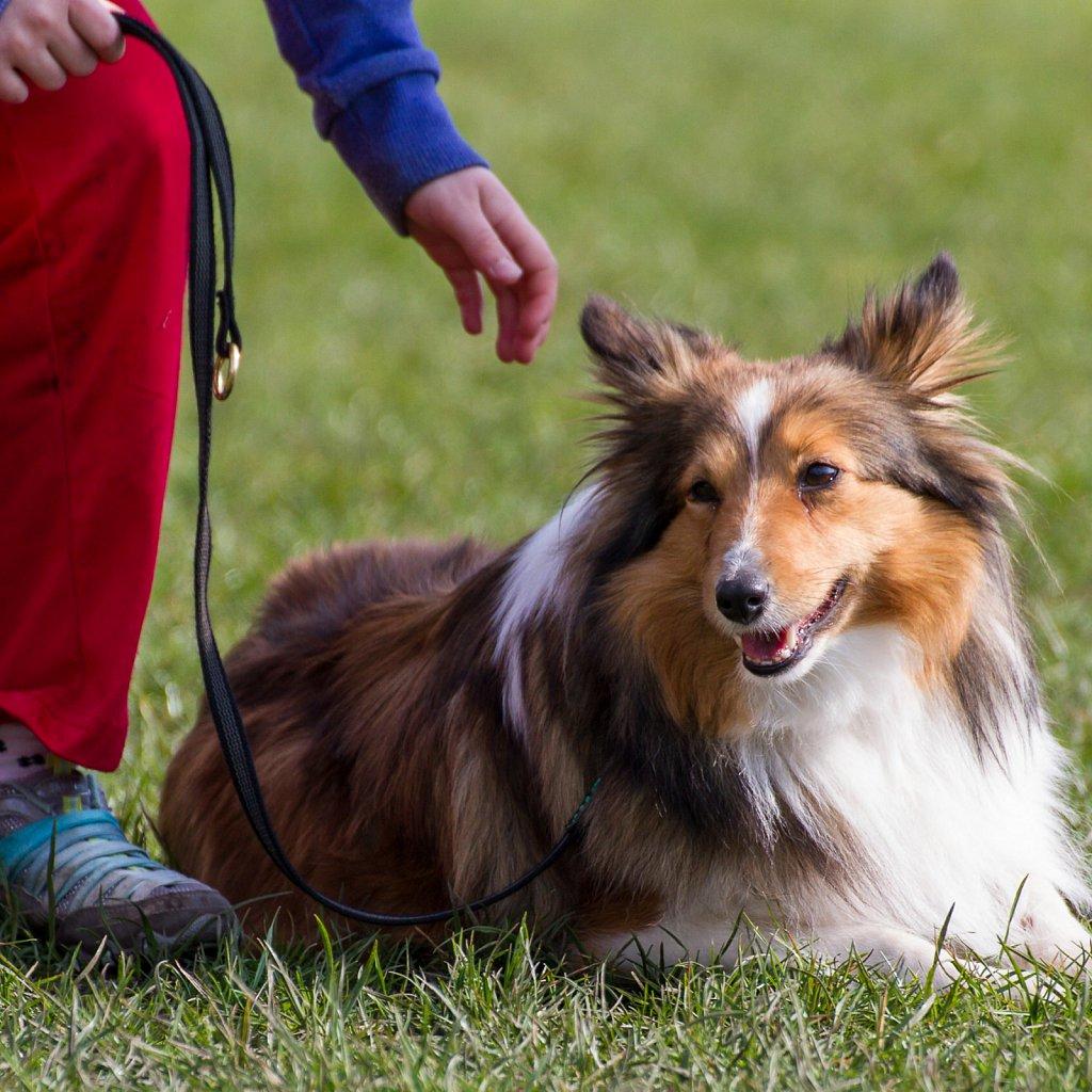 Shetland Sheepdog (Sheltie) - Kiara