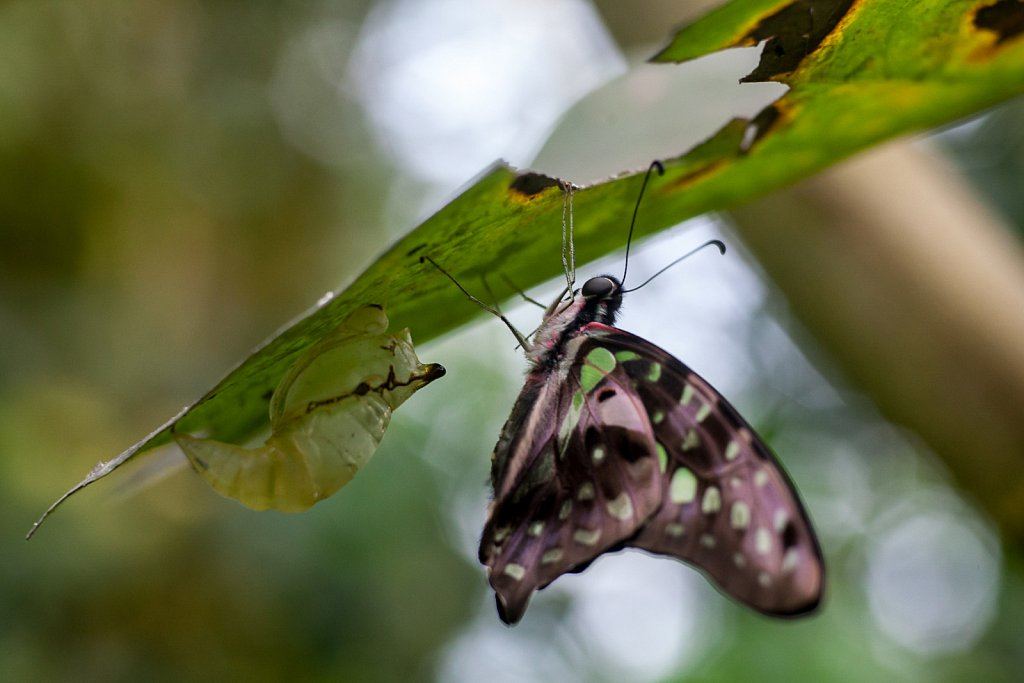 hatching butterfly