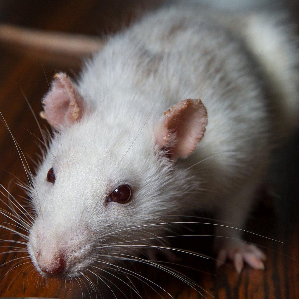 Ratte - Remi
